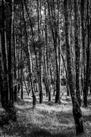 The Wood for the Trees - B/W